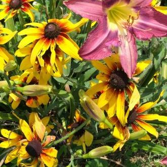 Wendy's Black-eyed-Susan and Daylilies
